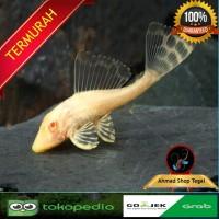 Ikan Sapu Sapu Albino Size M 5-10Cm Pembersih Algae Aquarium Aquascap
