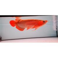 Ikan Arowarna