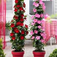 mandavilla bunga merah - bibit tanaman hias rambat - bunga hidup