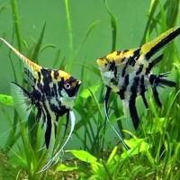 Ikan Hias Aquascape  Manfish 3 Color  Size XL
