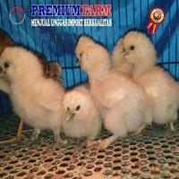 BARU DATANG AYAM SILKIE - Ayam Silky - AYAM HIAS - Ayam Kapas Usia 1