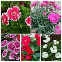 tanaman hias bunga anyelir - paket tanaman dianthus 5 warna