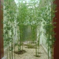 Bibit Tanaman Hias Bambu Cina Hijau 60cm