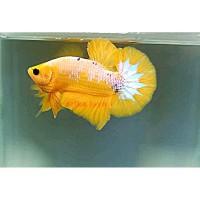 GRADE Ikan cupang yellow banana yelow fancy cupang hias jantan betina