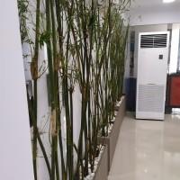 Pohon Bambu China Hijau - Tanaman Bambu Kelisik Hijau