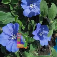 Bibit Bunga Baby Blue ( PAKET BIBITISI 3, BERAT 550 gr )