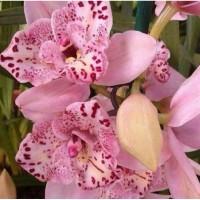 Seedling Anggrek Dendrobium Pink Princess / Tanaman Hidup Bunga Hidup