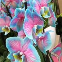 ANGGREK DEWASA BLUE PINK / Tanaman Hidup / Bunga Hidup