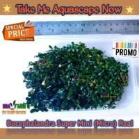 Buce Beautiful Bucephalandra Super Mini (Micro) Buche Tanaman Aquascap