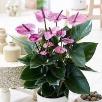 Tanaman hias mickey mouse ungu-tanaman hidup-bunga hidup murah