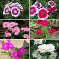1 paket 5 tanaman bunga dianthus/anyelir