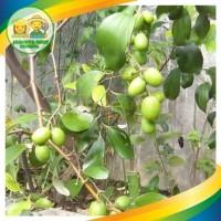 Bibit Tanaman Buah Apel Putsa/Apel India siap berbunga