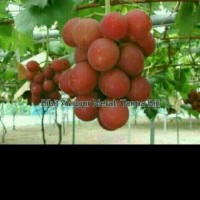 bibit buah angur merah tanpa biji