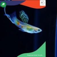 Ikan guppy top sword pasangan