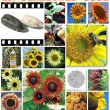 Logo 2R Sunflower Seeds