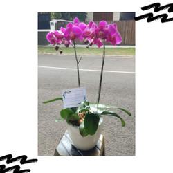 Jual bunga anggrek bulan dewasa berbunga rangkaian 2 Pohon (Ungu)