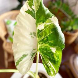 ficus frunze de la varicoză schema de brăzdare în picior de varicoză