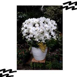 Anggrek bulan Dewasa rangkaian 20 Pohon termasuk Pot warna Putih