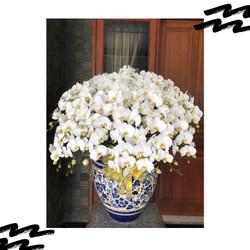 Anggrek bulan Dewasa 20 Pohon Warna Putih termasuk Pot Keramik Motif