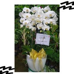 Jual bunga anggrek bulan dewasa rangkaian 5 Pohon Warna putih