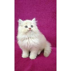 Jual Kucing Persia Jantan Terlengkap Terbaik Harga Murah August 2021