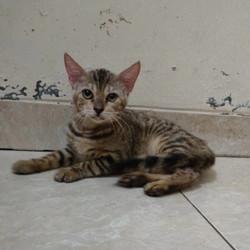 Jual Kucing Bengal Terbaik Terbaru August 2021 Harga Murah
