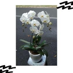 Anggrek bulan dewasa rangkaian 3 pohon sudah termasuk pot warna putih