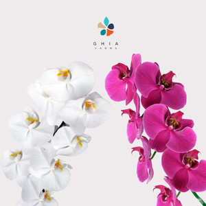 Anggrek Bulan Ungu - Phalaenopsis Purple