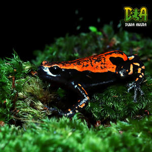 Lukisan walking frog - Phrynomantis Microps - red rubber frog