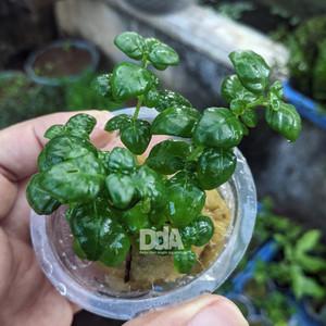 """Dipteracanthus Elastica """"bubble plant"""" - Tanaman Paludarium"""