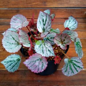 Tanaman Hias Begonia Martin Mystery - SAP Garden