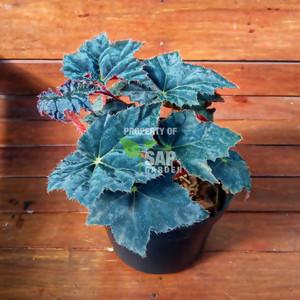 Tanaman Hias Begonia Black Velvet - SAP Garden