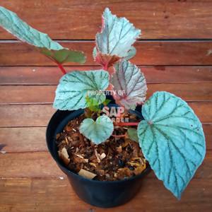 Tanaman Hias Begonia Silver Pink - SAP Garden