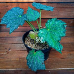 Tanaman Hias Begonia Rhizomatus Speculata - SAP Garden