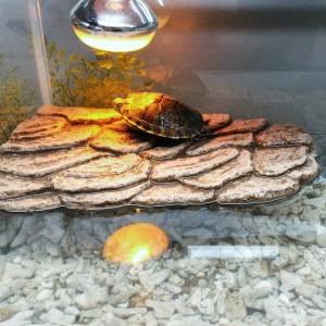 basking ram reptile dan kura kura tr002 caveunlimited