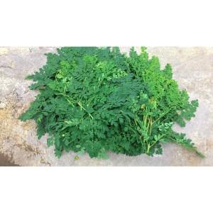 Daun kelor segar organik asli pedesaan 500 gram Moringa oleifera