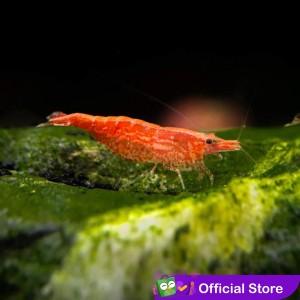 Harga Hiasan Aquascape Red Cherry Shrimp Muraahh Katalog.or.id