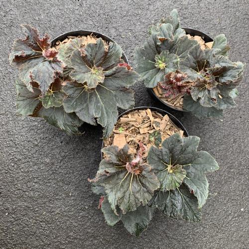 Foto Produk Tanaman Hias Begonia dari We're close.