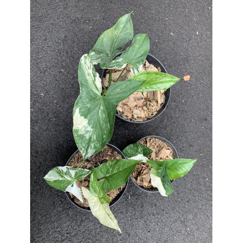Foto Produk tanaman hias syngonium variegata dari We're close.