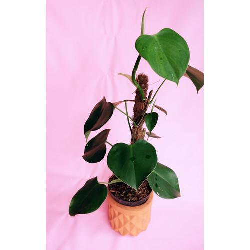 Foto Produk Tanaman Hias Philodendron Microstictum pakai turus dari We're close.