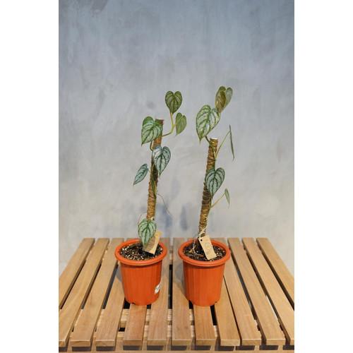Foto Produk Philodendron Brandtianum dari RainFall by Curah Hujan