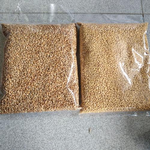 Foto Produk Catgrass Wheatgrass Benih Gandum Utuh 1 kilogram - Kuning dari Vatonee Farm