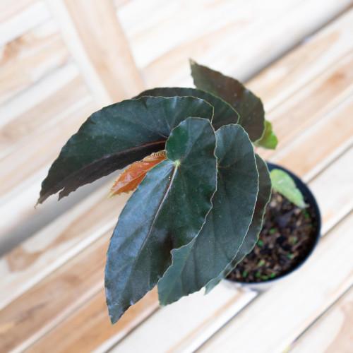 Foto Produk Begonia sp dari RainFall by Curah Hujan