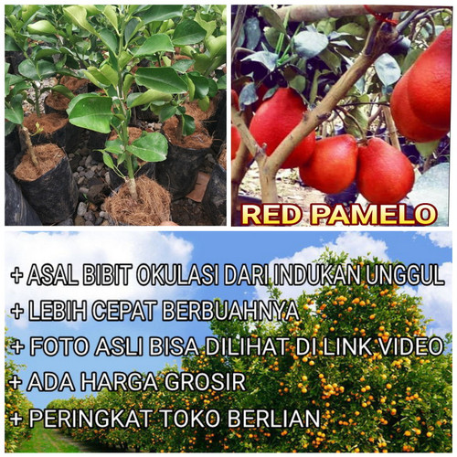 Foto Produk Bibit Jeruk Pamelo Merah Pohon Jeruk Pamelo Merah Original Flora dari ORIGINAL FLORA