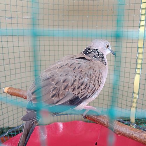 Foto Produk burung tekukur dekukur kuk 2 dari myshoppediacom
