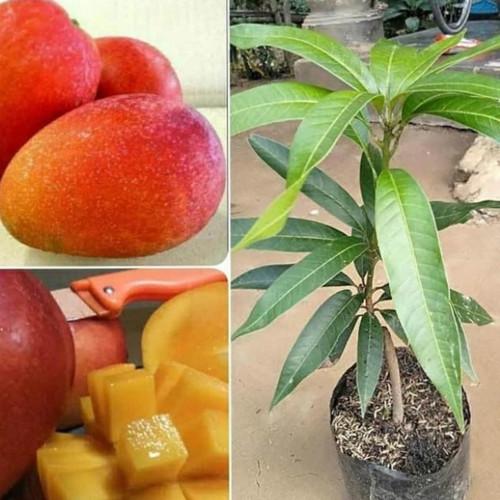 Foto Produk bibit tanaman buah mangga Yuwen dari Sri Rejeki Bibit