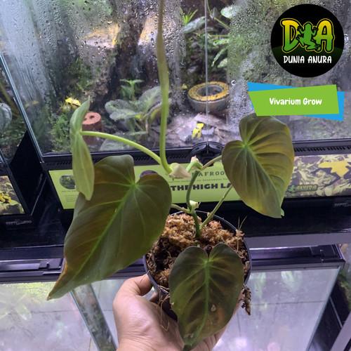 Foto Produk Tanaman Vivarium Philodendron micans dari Dunia Anura