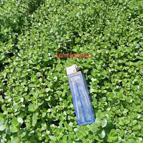 Foto Produk rotala rotundifolia. green/rotun green dari bimaquatic