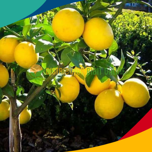 Foto Produk Bibit lemon California murah dari Distributor Bibit Online
