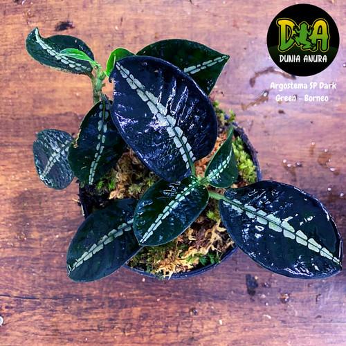 Foto Produk Tanaman Vivarium Argostemma SP Dark Green dari Dunia Anura